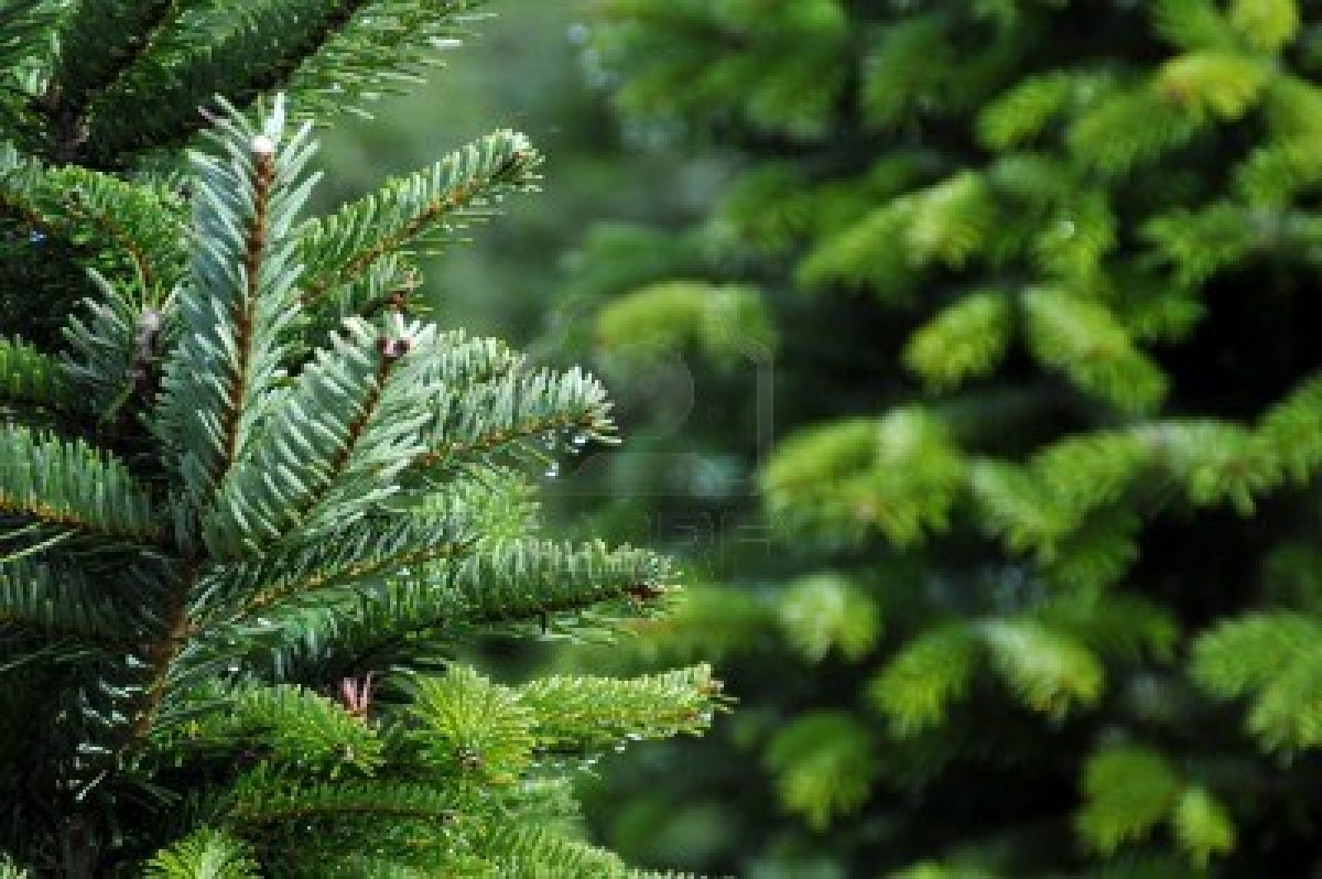 6046088 Close Up Of A Christmas Tree Farm In Oregon The